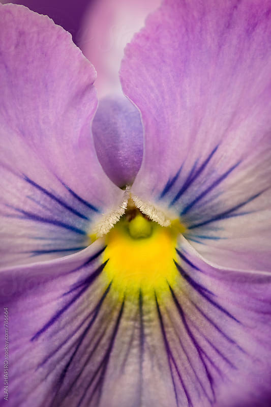 Pansy macro by ALAN SHAPIRO for Stocksy United