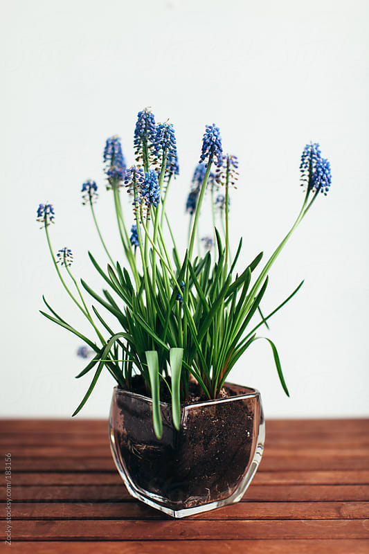 Grape hyacinth in a glass pitcher  by Zocky for Stocksy United