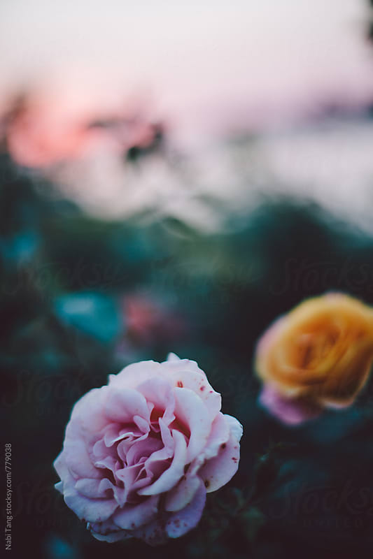 Close up beautiful rose at sunset time by Nabi Tang for Stocksy United