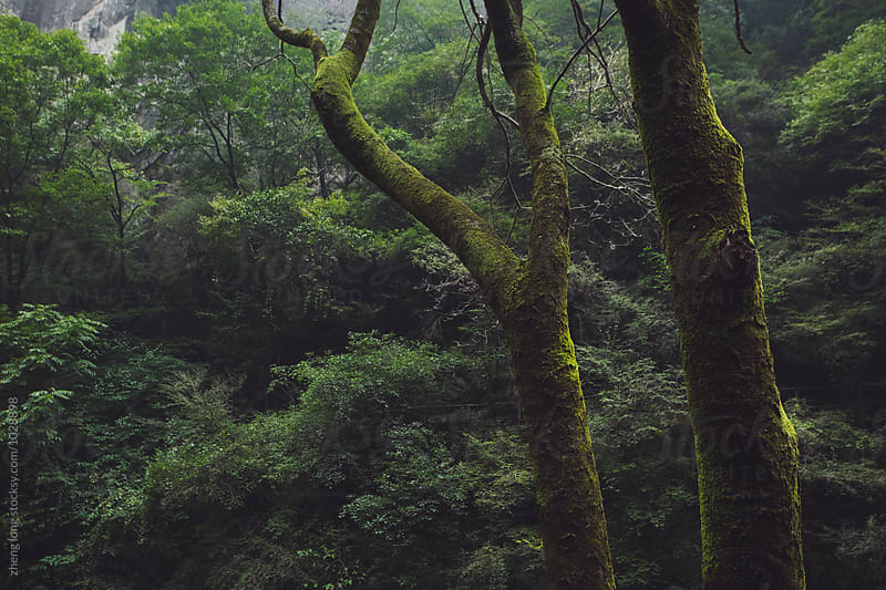 The tree is covered with moss in Taibai mountain by zheng long for Stocksy United