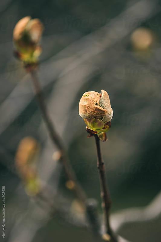 chestnut at spring by Alexey Kuzma for Stocksy United
