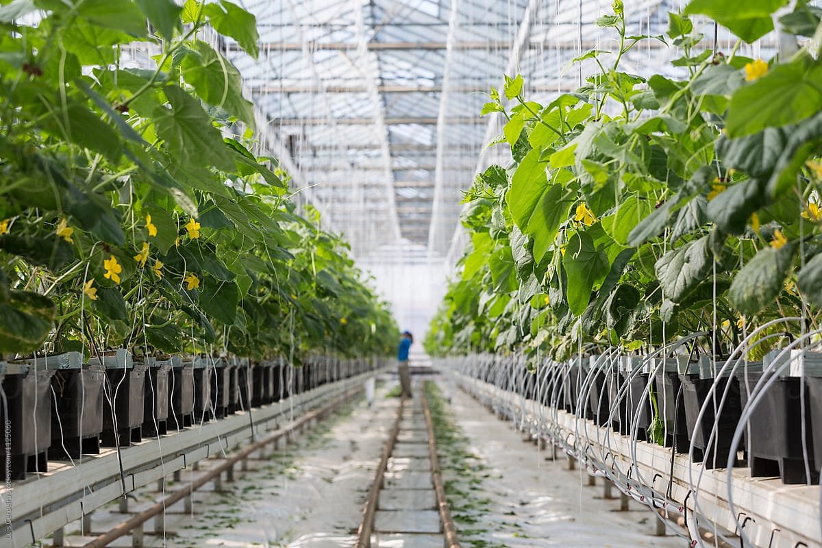 Hydroponic Cucumber Production In Greenhouse By Luis Cerdeira Stocksy United