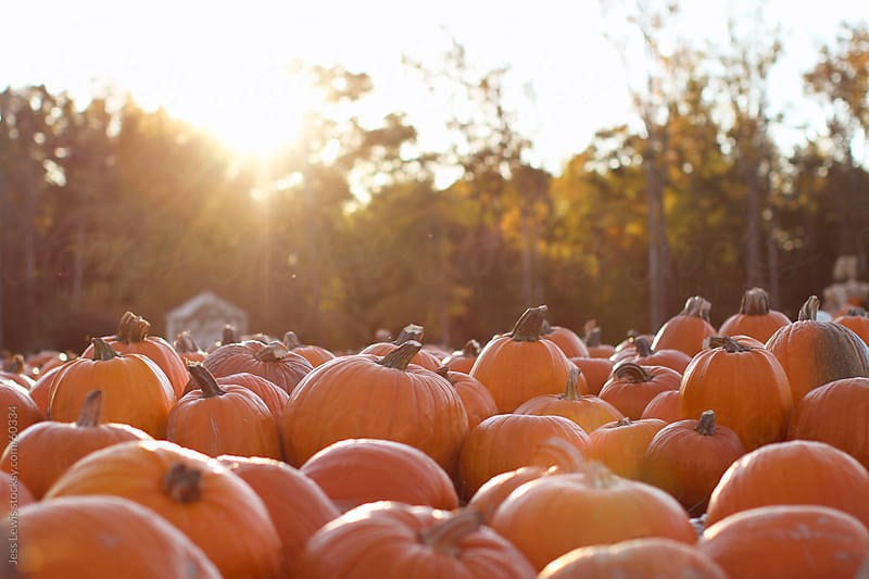 group of pumpkins in sunlight by Jess Lewis for Stocksy United