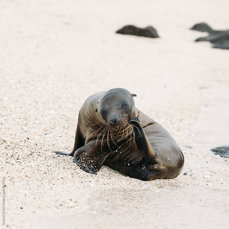 Small sea lion scratching its face with flipper by Gabriel Tichy for Stocksy United
