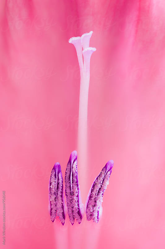 Gladiola stamens by Mark Windom for Stocksy United