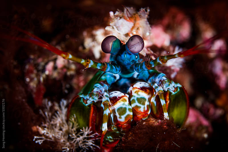 mantis shrimp look out by Song Heming for Stocksy United