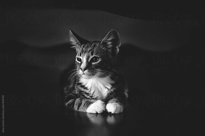 black and white photo of cat by Jess Lewis for Stocksy United