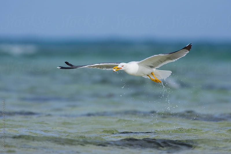 Yellow-legged gull (Larus michahellis) by Gabriel Ozon for Stocksy United