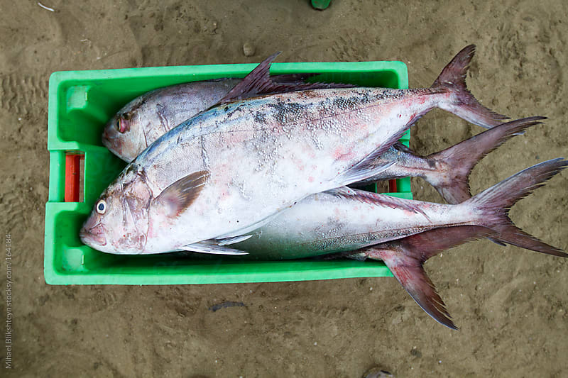 Catch (jacks or rainbow runners) from an Ecuadorian artisanal commercial fishery by Mihael Blikshteyn for Stocksy United