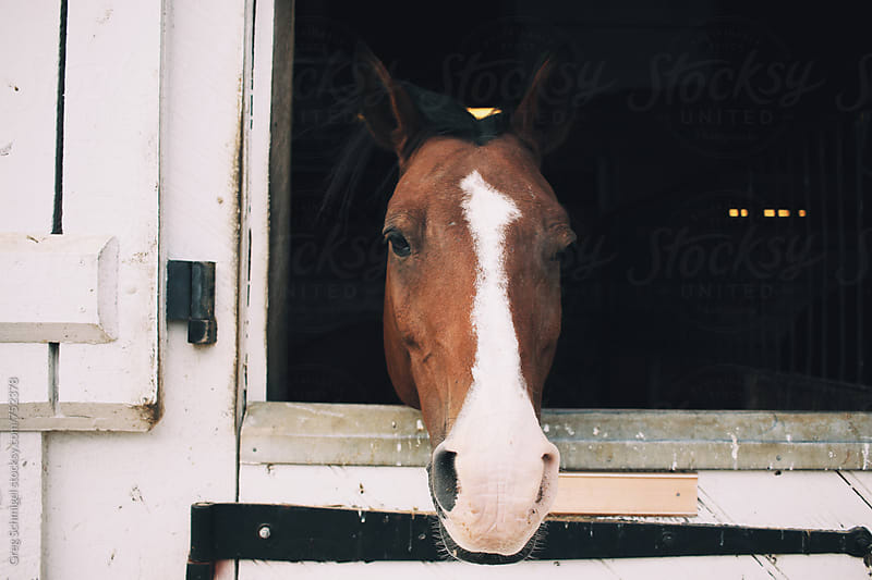 Friendly horse in an equine barn and stable on a farm by Greg Schmigel for Stocksy United