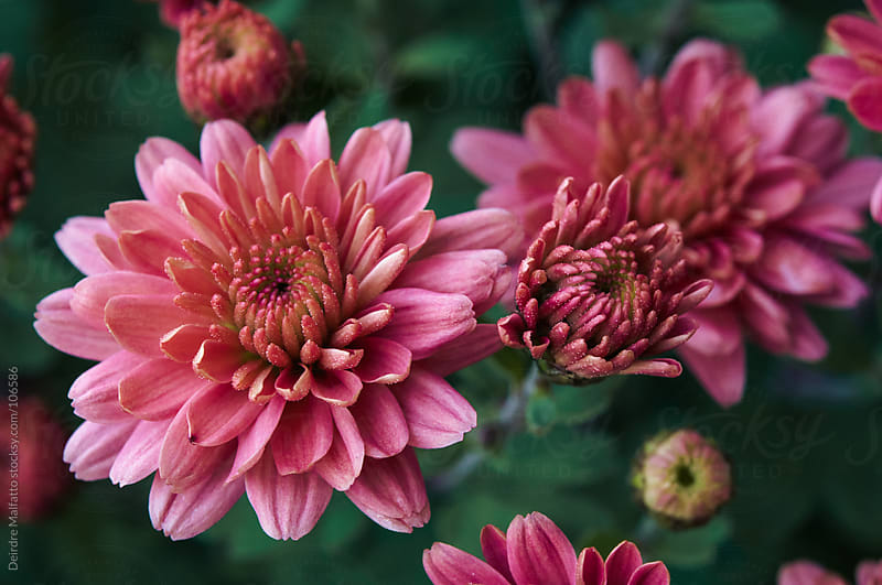 close up of pink or mauve mums by Deirdre Malfatto for Stocksy United