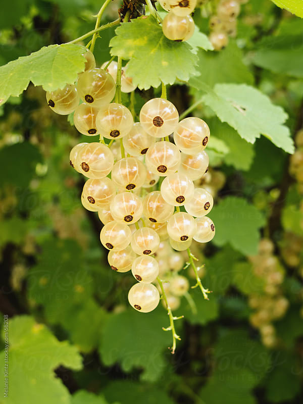White currants on a bush in a garden by Melanie Kintz for Stocksy United