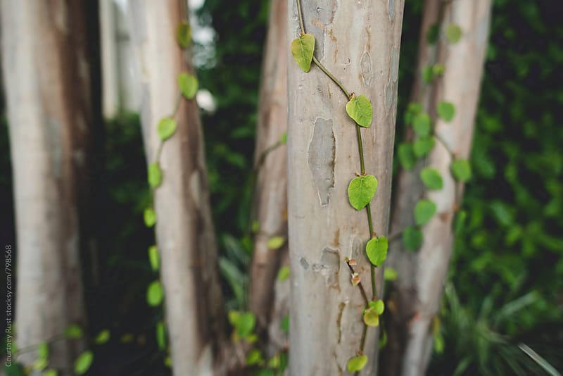 Vines growing on a tree by Courtney Rust for Stocksy United