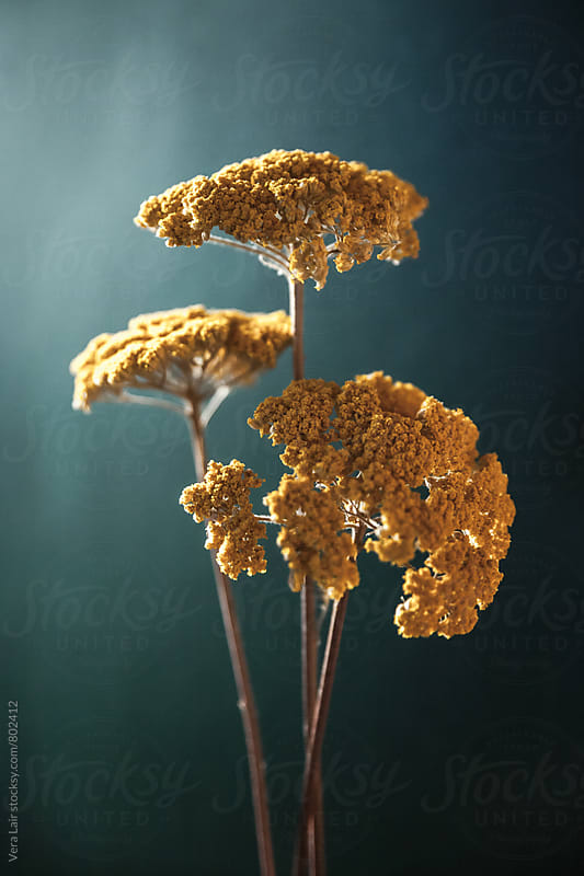 Dried yellow yarrow by Vera Lair for Stocksy United