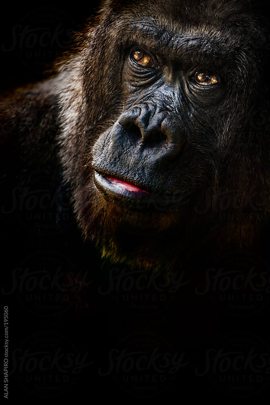 Lowland Gorilla in thought by alan shapiro for Stocksy United