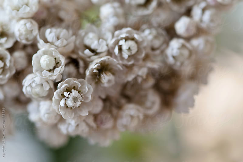 Macro of delicate flowers by Kerry Murphy for Stocksy United