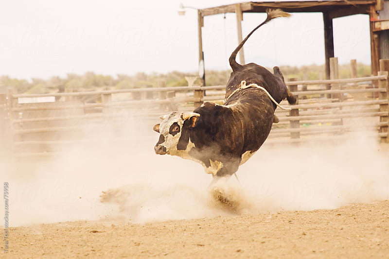 A rodeo bucking bull bucks in a dirt arena. by Tana Teel for Stocksy United