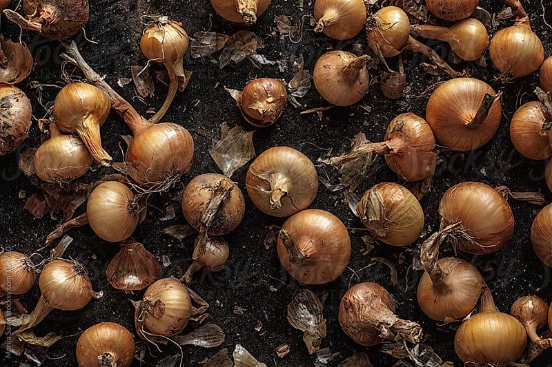 Fresh onions on dark metal plate. by Marija Savic for Stocksy United