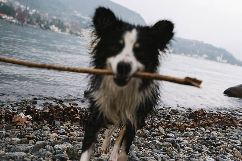 Border collie with a stick in mouth by WAVE for Stocksy United