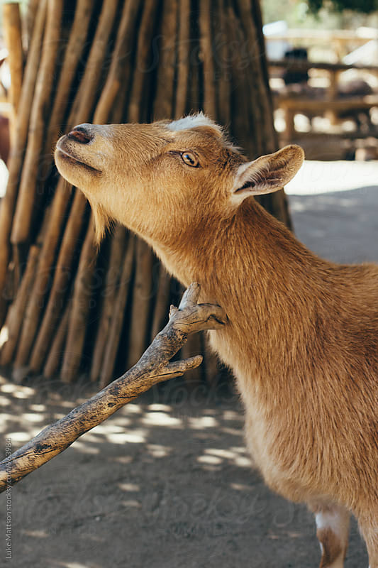 Fuzzy Goat Scratching Itch On Neck Using Branch by Luke Mattson for Stocksy United