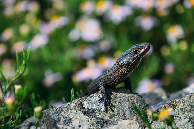 Cape girdled crag lizard on a rock by Micky Wiswedel for Stocksy United