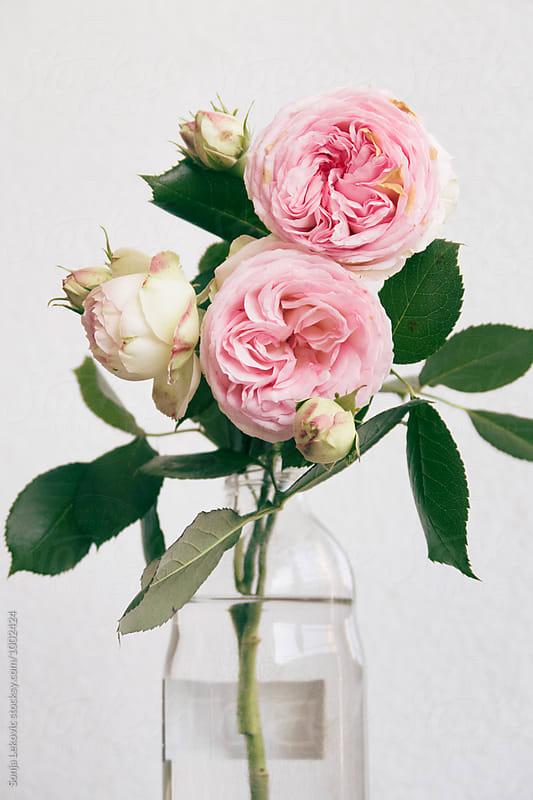 pink roses in a jar on white background by Sonja Lekovic for Stocksy United