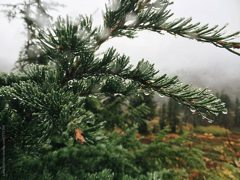 Wet Pine Tree Leaves Dripping With Rain Drops by Luke Mattson for Stocksy United