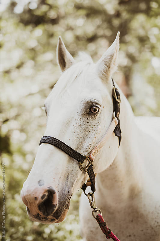 White Horse Portrait by Isaiah & Taylor Photography for Stocksy United