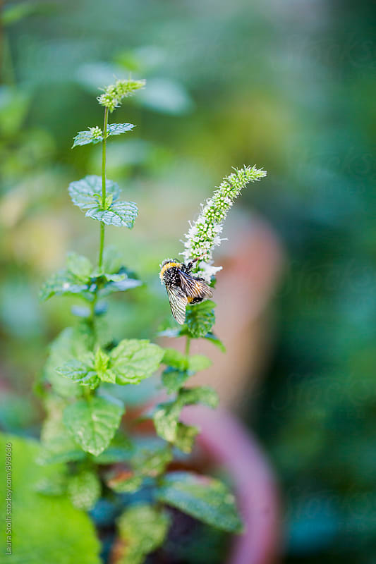 Bee with lot of pollen on the body perching on mint spike flower in summer day by Laura Stolfi for Stocksy United