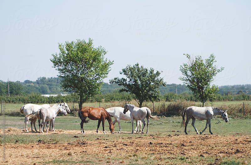 Horses Grazing in Pasture by Dobránska Renáta for Stocksy United