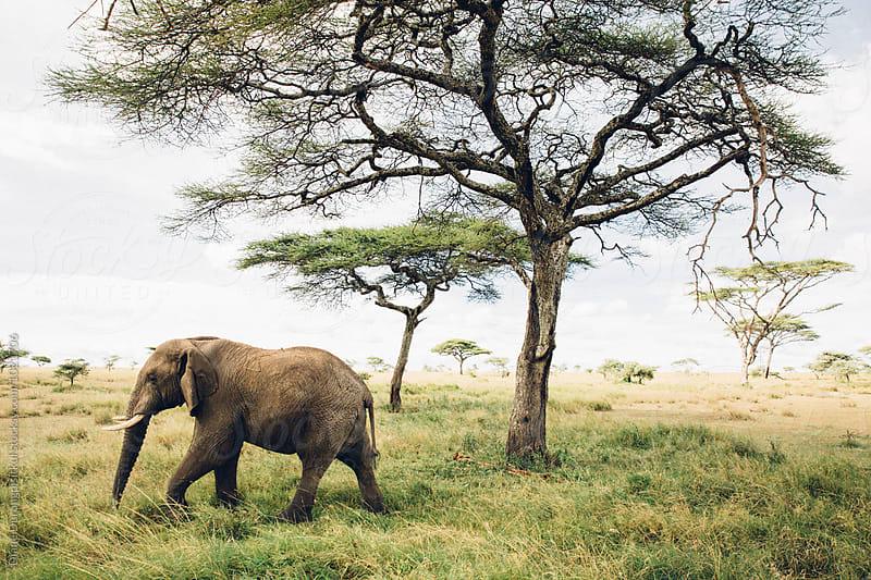 African Elephant by Diane Durongpisitkul for Stocksy United