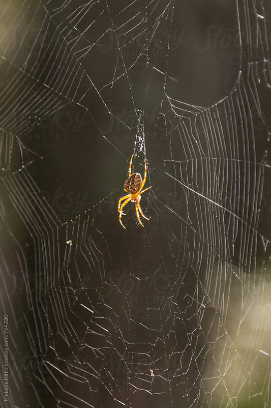 cross spider in web by Melanie Kintz for Stocksy United