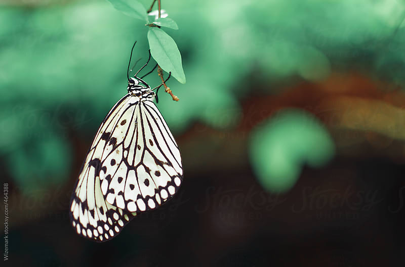 White butterfly hanging by Wizemark for Stocksy United