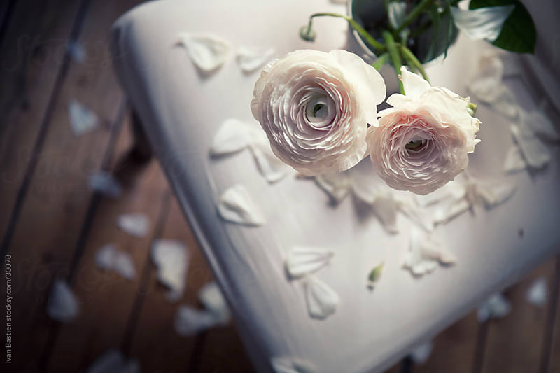 Withering white roses by Ivan Bastien for Stocksy United