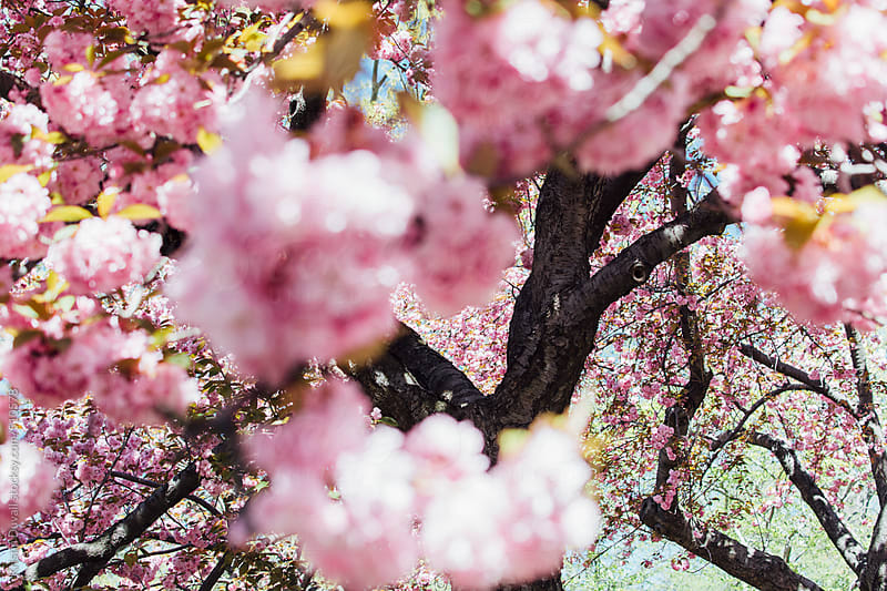 Cherry blossoms. New York City. by Kristin Duvall for Stocksy United