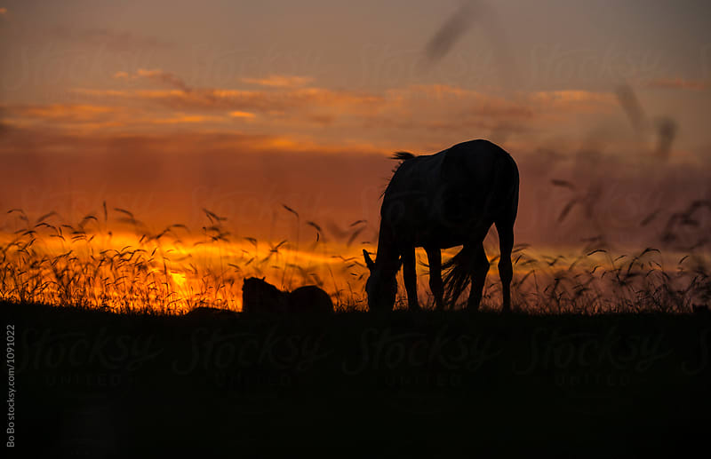 horse grazing on grassland at sunset by Bo Bo for Stocksy United