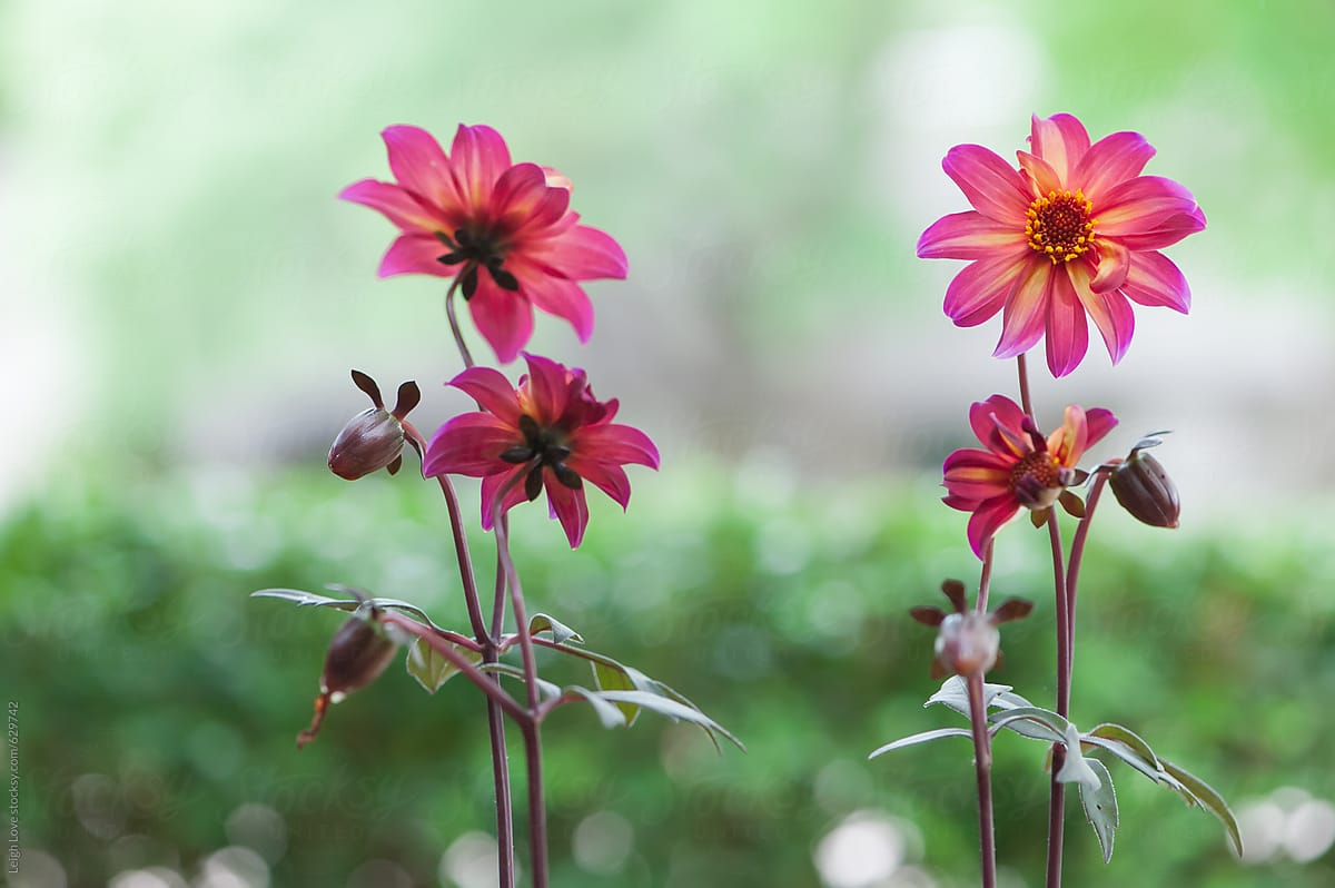 Four Colorful Dahlia Flower In Pink Orange Red And Yellow