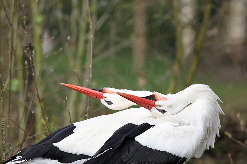 Stork couple during courtship dance by Marcel for Stocksy United