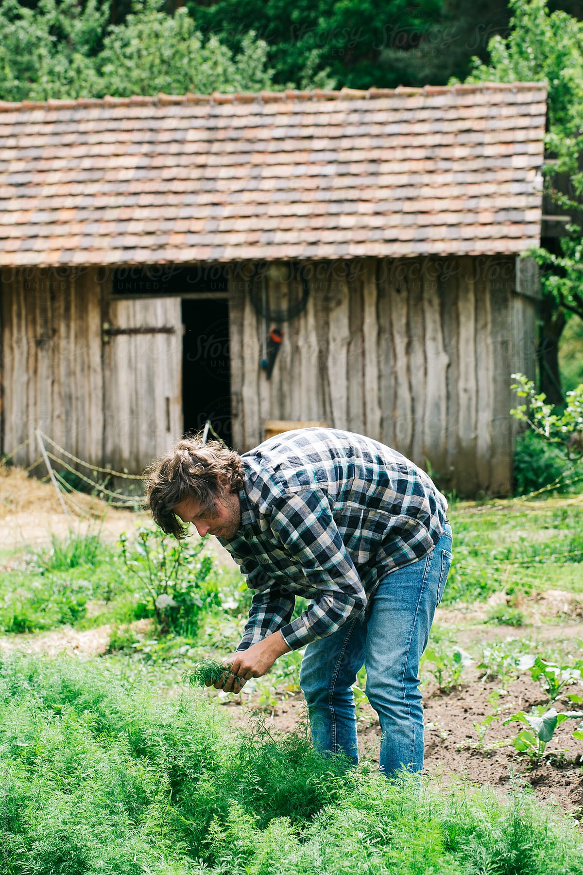 Farm To Table   Handsome Young Male Farmer Picking Fresh Dill In Garden By  VISUALSPECTRUM For