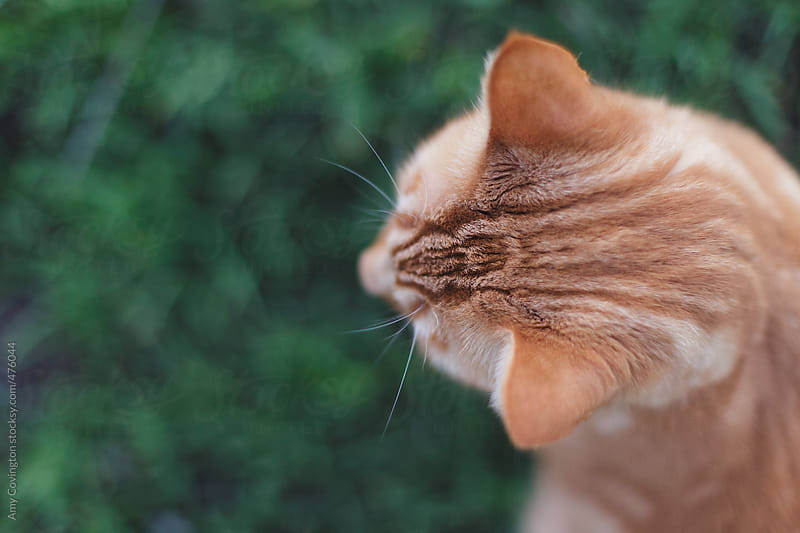 Orange striped tabby cat's head by Amy Covington for Stocksy United