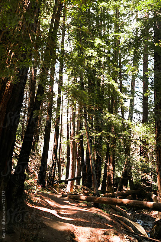 Redwoods in California by Kayla Snell for Stocksy United