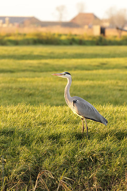 Grey heron standing in a field in late sunlight by Marcel for Stocksy United