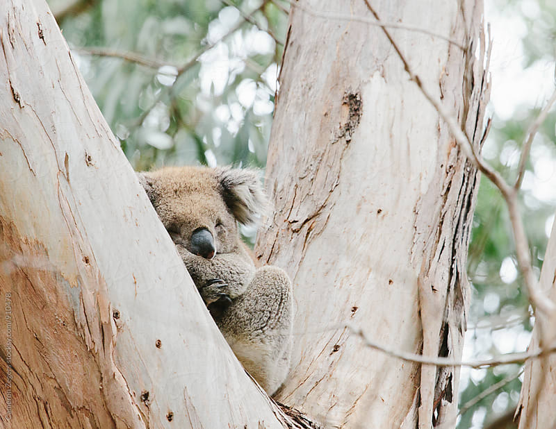 koala in eucalyptus tree by Cameron Zegers for Stocksy United