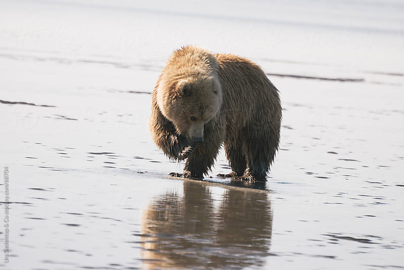 Brown Bear on beach in Alaska by Urs Siedentop & Co for Stocksy United