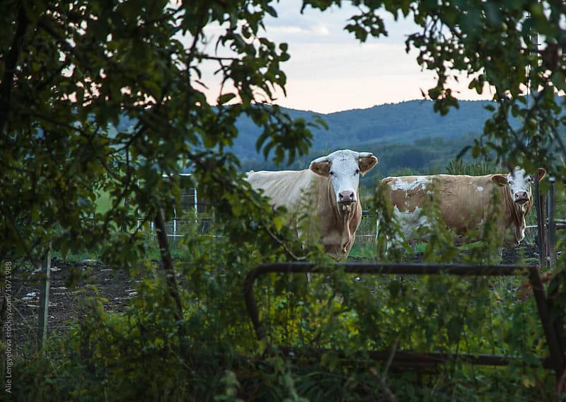 Lovely View on Herd of Cows by Alie Lengyelova for Stocksy United