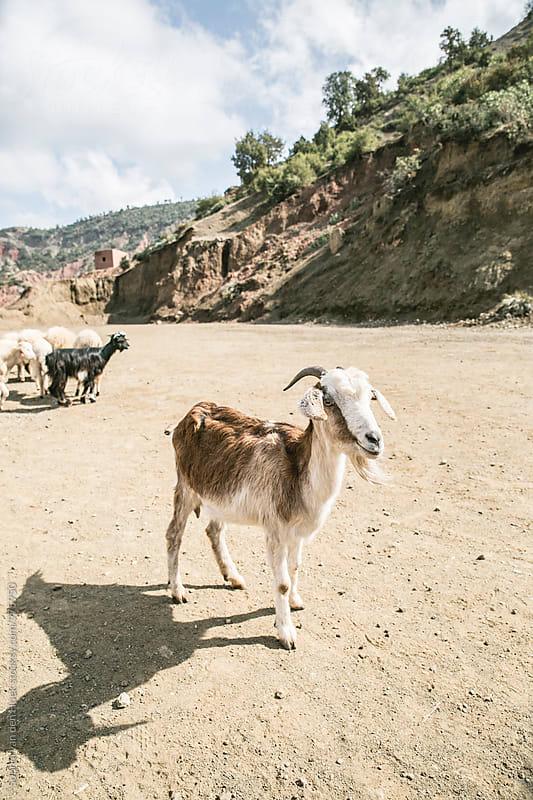 Goats in the Atlas Mountains by Sophia van den Hoek for Stocksy United