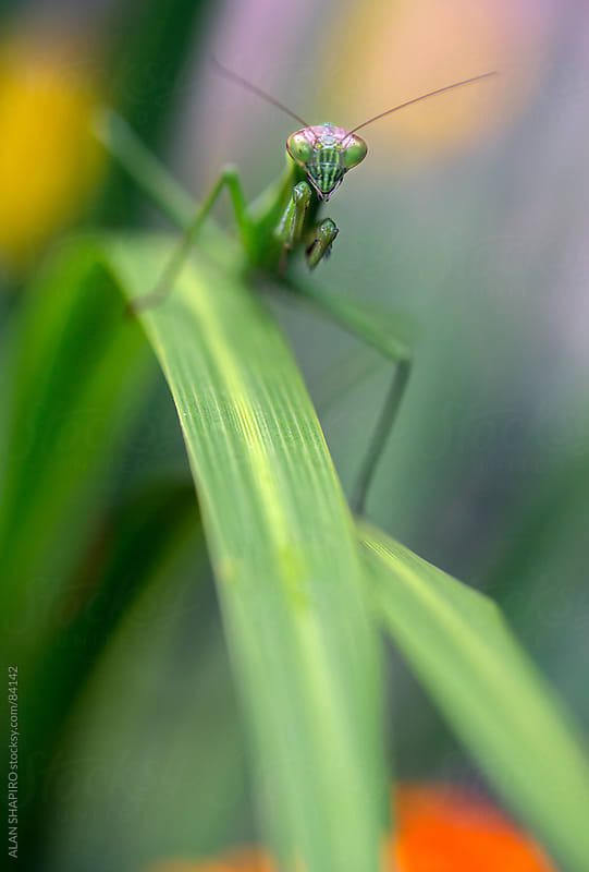 Praying Mantis up close and personal by ALAN SHAPIRO for Stocksy United