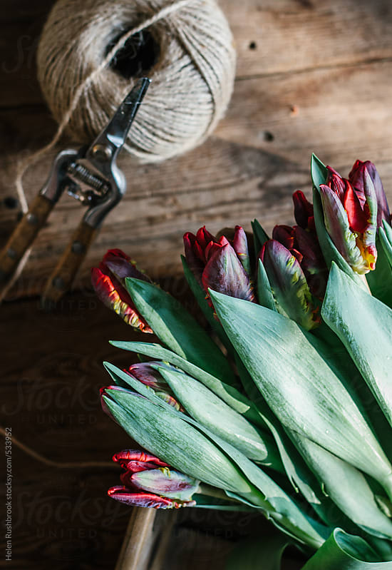 Parrot tulips with secateurs and twine. by Helen Rushbrook for Stocksy United