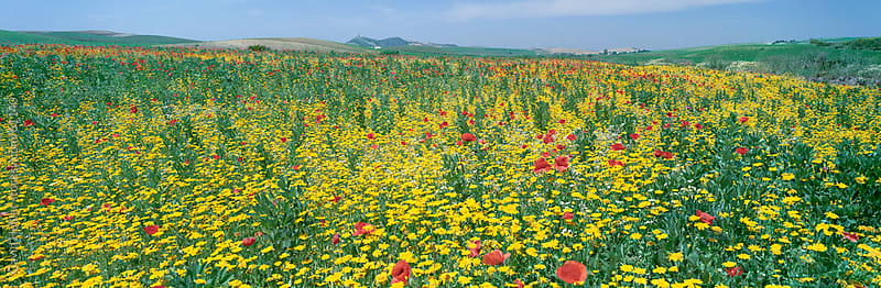 Wild poppies (Papaver rhoeas) and wild grasses in front of Sierra Nevada, Andalucia, Spain, Europe. by Gavin Hellier for Stocksy United
