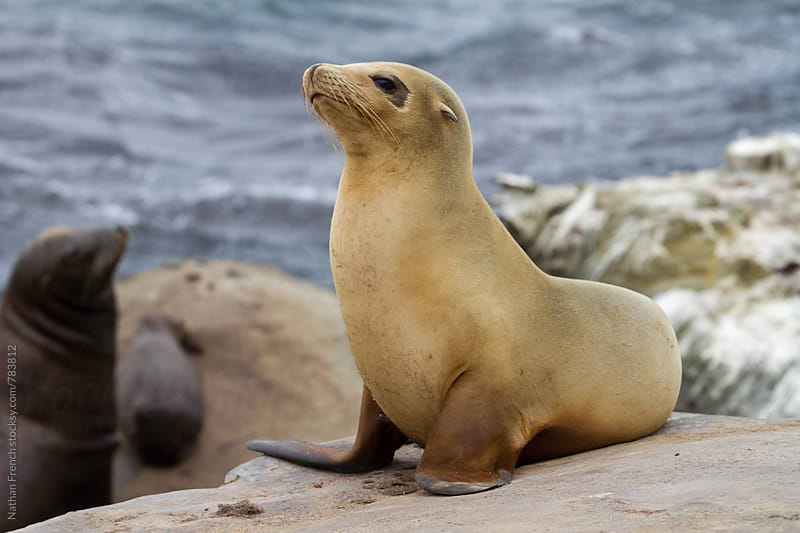 Baby Sea Lion by Nathan French for Stocksy United